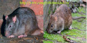 Công ty diệt chuột hiệu quả Phú Thọ