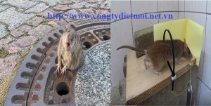 Dịch vụ diệt chuột tỉnh Vĩnh Phúc