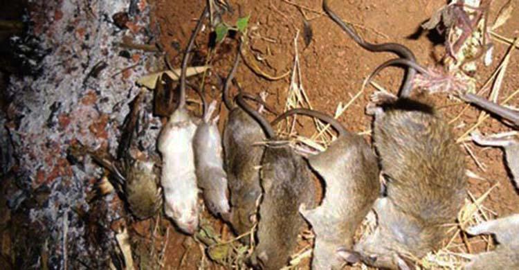 Dịch vụ diệt chuột tại Hà Nội